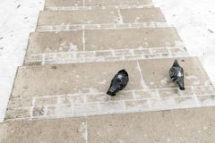 Two pigeons on a snow-covered path in Tsaritsino Park, Moscow. Royalty Free Stock Image
