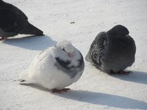 Two pigeons in the snow royalty free stock photo