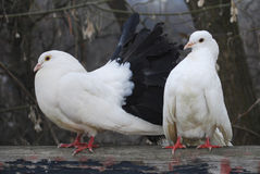 Two pigeons in the spring in the park sitting on fence Royalty Free Stock Images