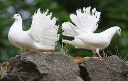 Two pigeons on stone. Two white pigeons on stone Royalty Free Stock Image