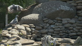 Two pigeons on the stones in the garden stock footage