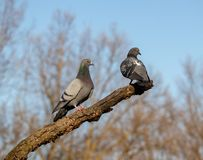 Two pigeons on tree in spring time sunny day. In love royalty free stock images