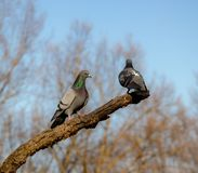 Two pigeons on tree in spring time sunny day. In love royalty free stock photography