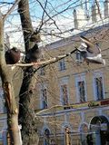 Two pigeons on the tree, the third one is flying stock photos
