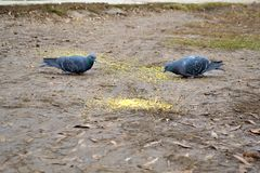 Two pigeons stock photography