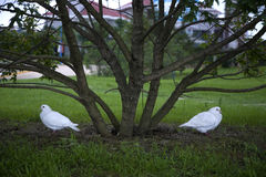Two pigeons Under the tree Royalty Free Stock Photo