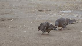 Two pigeons walk on a footpath slow motion video. Two pigeons walking along the path, and look for their own food on the ground slow motion video stock video footage