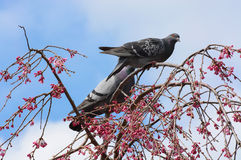 Two pigeons in a weeping cherry tree with pink flower blossoms in Kyoto, Japan Royalty Free Stock Images