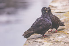 Two pigeons on a wood post show affection towards each other.  Stock Photography
