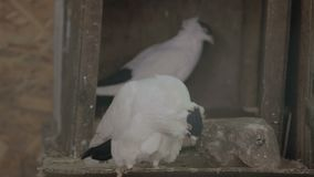 Two doves pecking food in box. Two pigeonss pecking food in box stock footage