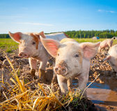 Two piglets. Standing on a field outside on a pigfarm in Dalarna, Sweden royalty free stock images