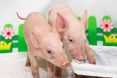 Two piglets Royalty Free Stock Photography