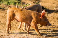 Two piglets busy feeding in a meadow of Gaume stock photography