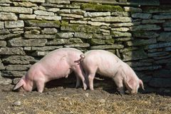 Two piglets eating royalty free stock photography