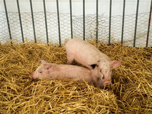 Two piglets. Two funny piglets playing in the stall royalty free stock image