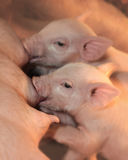 Two piglets nursing royalty free stock photos