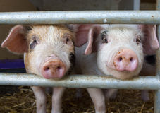 Two piglets peeking through bars Royalty Free Stock Photos