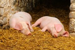 Two piglets on a bed of straw royalty free stock images