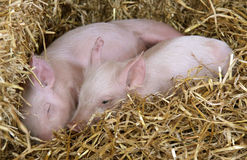 Two piglets resting in straw