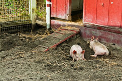 Two Piglets Rooting. Two piglet rooting in dirt in front of a small red barn entrance Stock Images