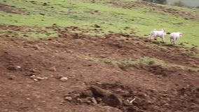 Two piglets running to mother sow in a farm field in the countryside stock footage