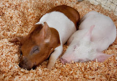 Free Two Piglets Sleeping Royalty Free Stock Photo - 12134485