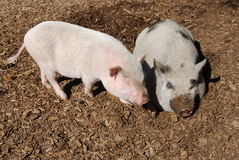 Two pigs Royalty Free Stock Photos