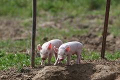Two pigs. Outdoors Stock Photos