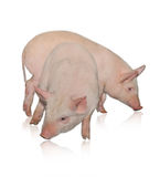 Two pigs. Who are represented on a white background Royalty Free Stock Photo