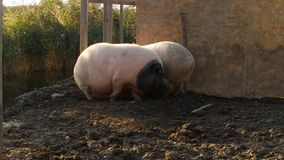 Two pigs in an argue stock footage