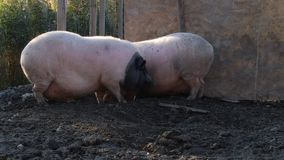 Two pigs arguing stock video footage