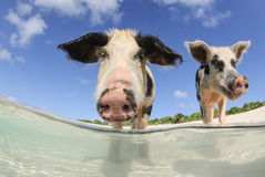 Two pigs on beach. Two young pigs looking down, with feet underwater, on sandy beach in the Bahamas Stock Image