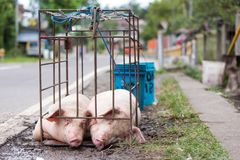 Two pigs in a cage Royalty Free Stock Photos