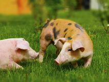Two pigs on a farm. Two pigs in different colours on a farm Stock Photos