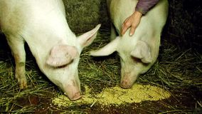 Two Pigs Eating Fodder In Barn. CLOSE UP shot of two domestic pigs eating fodder scattered on the floor with straw and hay in barn at breeding farm during stock footage