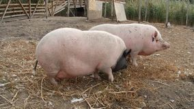 Two pigs eating stock footage