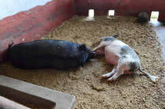 Two Pigs Fall Asleep Together in Their Pen in the Afternoon Stock Image
