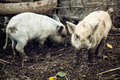 Two pigs in the farm Royalty Free Stock Image