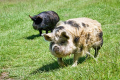 Two Pigs In A Grassy Field Stock Photo
