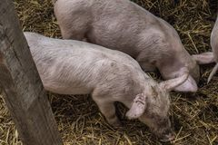 Two pigs in his haouse royalty free stock images