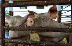 Two Pigs Kept in a Pen, Hoping for Treats Stock Image