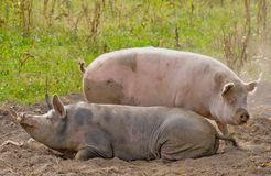 Two pigs laying in a dust Royalty Free Stock Photography
