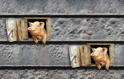 Two pigs look out from window of shed on the stony wall Stock Image