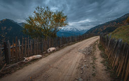 Two pigs lying on a country road next to a wooden fence in the background of the mountains. Stock Photo