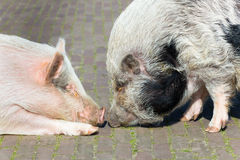 Two pigs making contact Stock Image