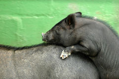Two pigs mating Stock Image