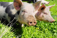 Two pigs on a meadow Stock Image