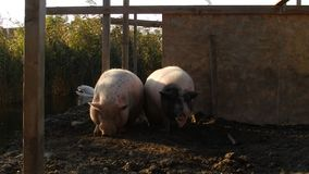Two pigs near a lake stock video