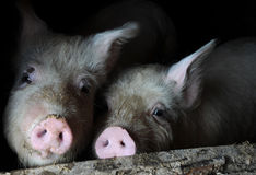 Two Pigs in the Pen Stock Photo