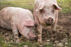 Two pigs in the pen Royalty Free Stock Photos
